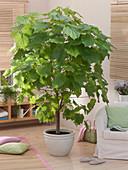 Zimmerbaum : Sparmannia africana (Zimmerlinde)