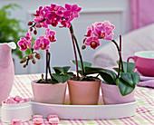 Phalaenopsis 'Little Lady' (Malaienblumen) als Minis, Dose mit Bonbons