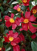 Camellia sasanqua 'Hiryu' (Kamelie), herbstblühend