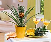 Ananas comosus (Ananas) in gelbem Übertopf und aufgeschnitten