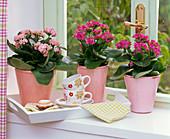 Kalanchoe blossfeldiana (Flammendes Käthchen) am Fenster, Tablett mit Tassen
