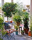 Citrus (verschiedene Citrus), Agave, Acacia (Mimose) im Wintergarten, Stuhl