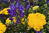 Aconitum napellus (Eisenhut), Achillea filipendulina 'Coronation Gold'
