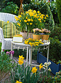 Narcissus 'Tete a Tete' (Narzissen), Crocus chrysanthus 'Advance'