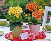 Primula (Frühlingsprimeln) in konischen Übertöpfen