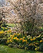 Amelanchier laevis (Kahle Felsenbirne) im Beet mit Narcissus