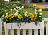 Holzblumenkasten mit Narcissus 'Trena' 'Tete a Tete' (Narzissen)