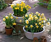 Narcissus 'Trena' 'Tete a Tete' (Narzissen) in Schalen