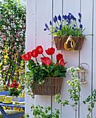 Wandkörbe im Frühling : Tulipa 'Red Paradise' (Tulpen) und Muscari