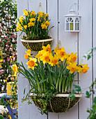 Wandkörbe im Frühling : Narcissus 'Suada' 'Tete a Tete' (Narzissen)