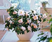 Camellia japonica 'Hagoromo' (Kamelie) in Schale auf dem Boden