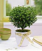 Myrtus communis (Brautmyrte) mit Schleife