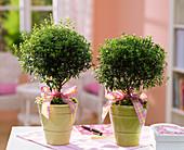 Myrtus communis (Brautmyrten) als Kugeln mit Schleifen