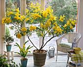 Acacia dealbata (Mimose), Acacia armata (Kängurudorn), Olea (Olive)