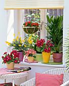 Fenster im Frühling mit Primula (Primeln), Cytisus (Ginster)