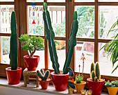 Kakteenfenster mit Euphorbia trigona (Wolfsmilch), Crassula, Cereus
