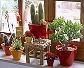 Kakteen am Fenster : Cereus (Säulenkaktus), Kalanchoe (Flammendes Käthchen)