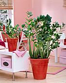 Zamioculcas zamiifolia in roten Übertöpfen