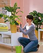 Frau reinigt die Blätter von Dieffenbachia 'Reflektor' (Dieffenbachie)