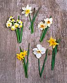 Tableau mit Narcissus (Narzissen) v.l.n.r. : 'Avalanche''Trena' 'Geranium'