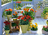 Tulpenbalkon mit Tulipa 'Horizon' 'Orange Princess' 'Bright Sight'