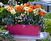Pinken Kasten mit Tulpen und Narzissen bepflanzen : 2/2