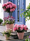 Rhododendron yakushimanum - Stamm 'Gunborg' unterpflanzt
