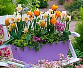 Tulipa 'Freeman' (gefüllte Tulpen), Narcissus 'Kate Heath'