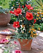 Hibiscus rosa-sinensis 'Barcelona' (Roseneibisch) unterpflanzt