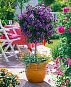 Solanum rantonnetii syn. Lycianthes (Enzianbaum)