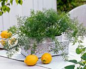 Anethum (Dill), Citrus limon (Zitronen)