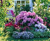 Rhododendron 'Scintillation' und yakushimanum 'Silberwolke' (Alpenrosen)