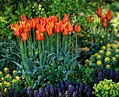Tulipa 'Ballerina' (Lilienblütige Tulpen)