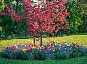 Malus ' Paul Hauber ' (Zierapfel) inmitten einer Baumscheibe