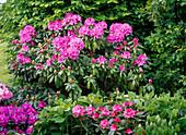 Rhododendron 'Catawbiense Boursault' 'Alfred' 'Anuschka'
