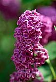 Blüten von Syringa 'Andenken an Ludwig Späth' (Flieder)