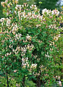 Lonicera caprifolium (Echtes Geißblatt)