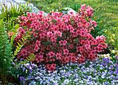 Rhododendron 'Blaauw's Pink' (Japanische Azalee)
