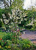Prunus cerasus 'Gerema' (Sauerkirsche), aromatisch, säuerlich