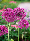 Allium aflatunense ' Purple Sensation ' (Kugellauch)