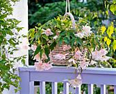 Begonia Belleconia 'White' (Hängebegonie) in Korb aufgehängt