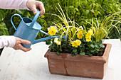 Kasten mit Stiefmütterchen und Goldkalmus bepflanzen