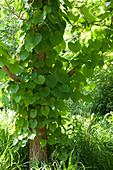 Aristolochia durior (Pfeiffenwinde) an Baum hochkletternd