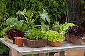 Lettuce plants, Petroselinum, Cucurbita pepo