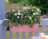 Duftkasten in rosa mit Dianthus Adorable 'Mindy', caryophyllus
