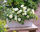 Petunia Sylvana 'Double White' (gefüllte Petunien)