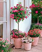 Rosa 'Medley Pink' 'Lupo' (Rosenstämmchen)