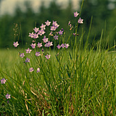 Campanula rotundifolia (Rundblättrige Glockenblume)