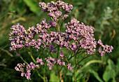 Limonium vulgare (Gemeiner Strandflieder)