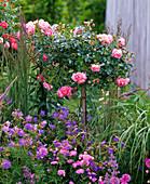 Rosa 'Charmant' (Stammrose), Zwergrose, süß duftend